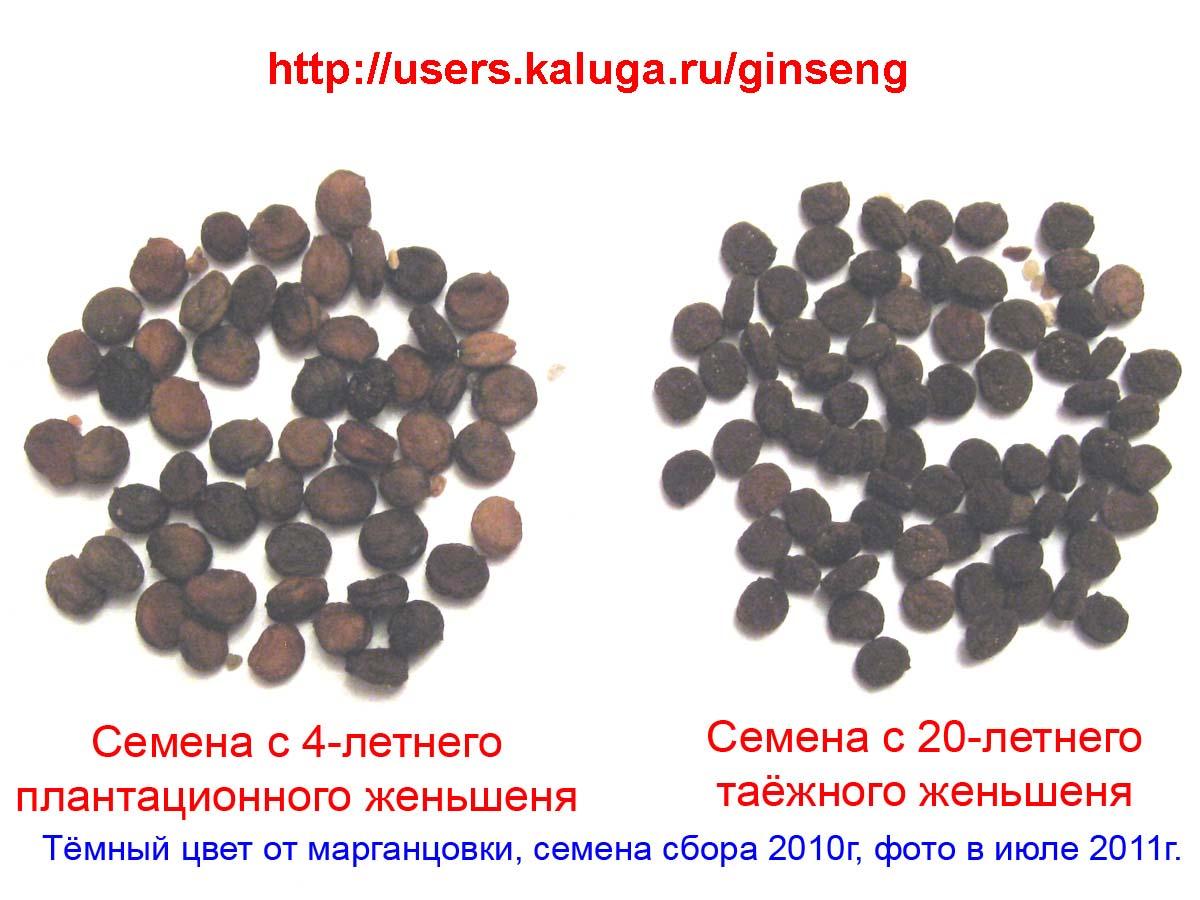 Как проростить семена женьшеня